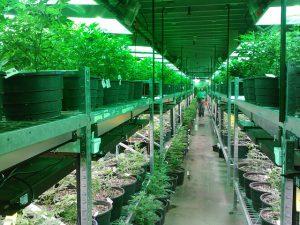 staatswiet cannabisteelt