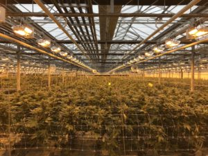 cannabisteelt canada