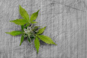cannabis wiet thuisteelt advocaat