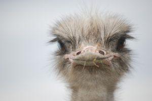 struisvogel politiek cannabis