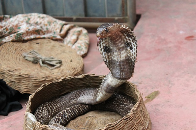cobra-efffect